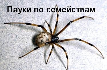 pauki_po_semeystvam.jpg